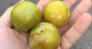 آلو گرین گیج ایرانی